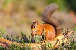 Red squirrel feeding in woodland, England
