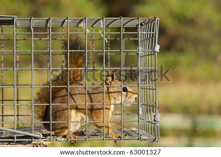 Red squirrel (female) caught in a live trap awaiting relocation.