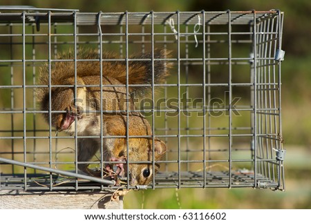Red squirrel, female,  caught in a live trap awaiting relocation.