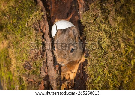 red squirrel in a hole of a tree and broken egg above the head egg and looking in camera with seed in mouth