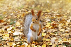 Red squirrel in autumn leaves, small forest animal, close-up. Portrait of funny squirrel.