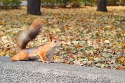 red squirrel in autumn with free space