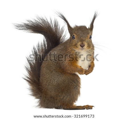 Red squirrel in front of a white background #321699173