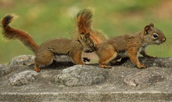 red squirrel in reproduction mode