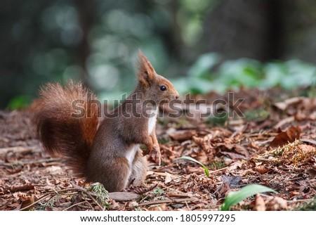 Red squirrel in the Monza park Stok fotoğraf ©