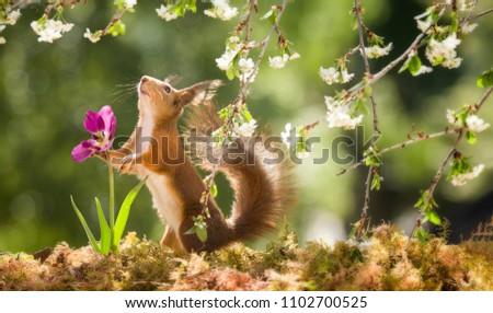 red squirrel is holding on to an tulip #1102700525