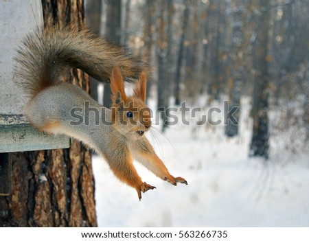 red squirrel jumps from tree. #563266735