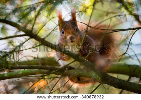 Red squirrel looking between the branches of yew tree