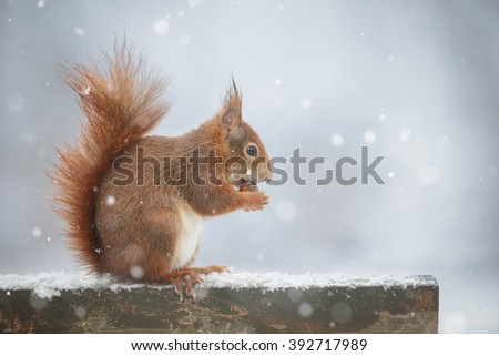 Red squirrel on a park bench during a snow shower #392717989