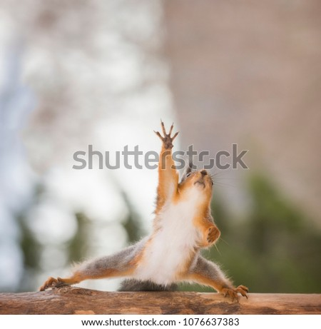 red squirrel on a tree looking up