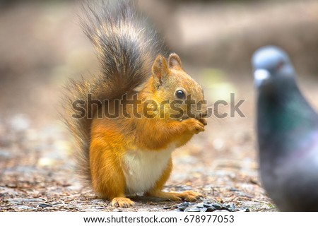 Red squirrel on gravel path in Park. Animal begs and eats sunflower seeds which took away from dove, feeding wild animals. Humanity responsible for animals, city entertainment