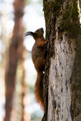 Red squirrel posing on a tree. Portrait of a funny furry squirrel with funny furry ears sitting on a tree