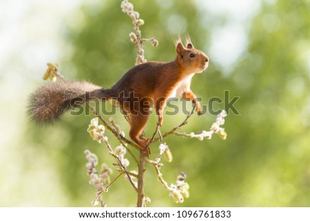 red squirrel reaching on a willow branch  #1096761833