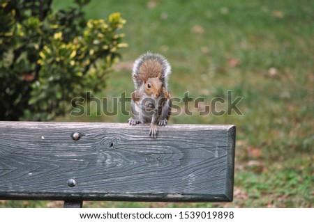 red squirrel (Sciurus vulgaris) animal of phylum Chordata, class Mammalia (mammals) #1539019898