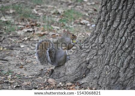 red squirrel (Sciurus vulgaris) animal of phylum Chordata, class Mammalia (mammals) #1543068821