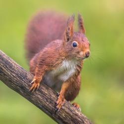 Red squirrel (Sciurus vulgaris) close up animal sitting alert on branch while looking for danger