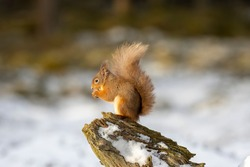 red squirrel, Sciurus vulgaris, close up portrait while surrounded by snow, looking/eating during a cold day in march in the cairngorms national park, Scotland.