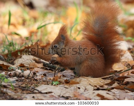 Red squirrel (Sciurus vulgaris) looking for nuts.
