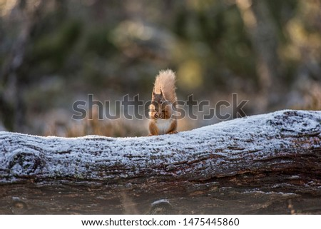 Red Squirrel (Sciurus vulgaris) perched atop an upturned tree root in caledonian pine forest in winter.
