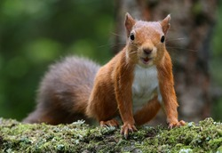 Red Squirrel (Sciurus vulgaris) taken at Montreathmont Forest, Angus, Scotland.