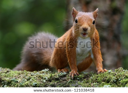 Red Squirrel (Sciurus vulgaris) taken at Montreathmont Forest, Angus, Scotland. - stock photo