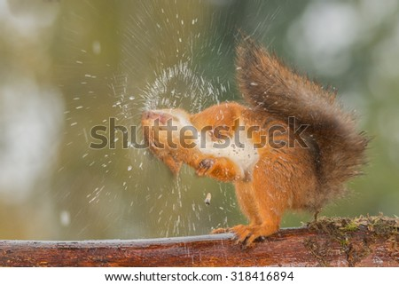 red squirrel shaking out water #318416894