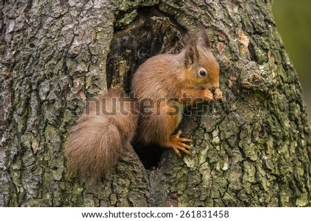Red Squirrel sitting in a hole in a tree trunk, nibbling a nut, in Scotland
