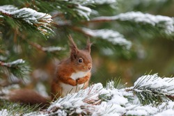 Red squirrel sitting in snow covered pine tree, Northumberland, England