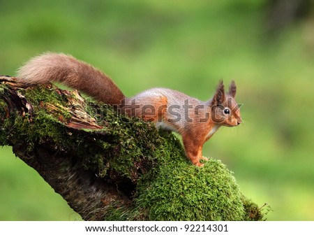 Red Squirrel sitting on a moss covered tree stump