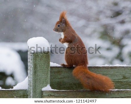 Red squirrel sitting on green fence while it's snowing, posing like a left foot boxer