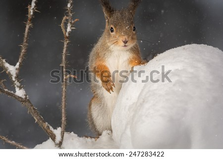 red squirrel standing on snow with plant with thorns and big snow ball while it is snowing