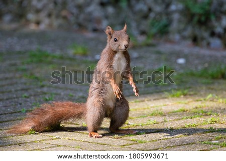 Red squirrel standing on two legs Stok fotoğraf ©
