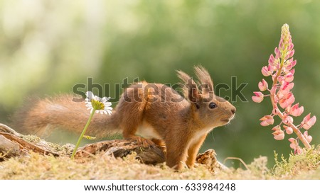 red squirrel standing with daisy and lupine flowers  #633984248