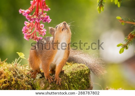 red squirrel standing with flowers looking up #288787802