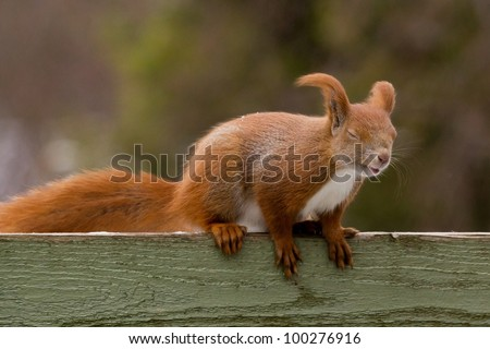 Red squirrel struggling against the wind