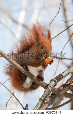 Red squirrel with a bushy tail sits on a tree and gnaws a nut