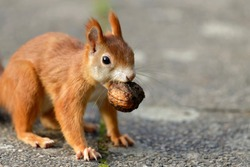 Red Squirrel with a walnut