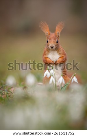 Red squirrel with snow drops in spring #261511952