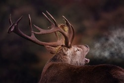 Red Stag, Cervus Elaphus, with antlers and misty breath on an Autumn morning. Close image of Red Stag during the rutting season, with grass on antlers.