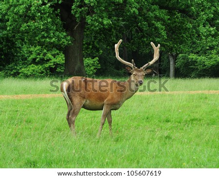 Red Stag Deer (Cervus Elaphus)