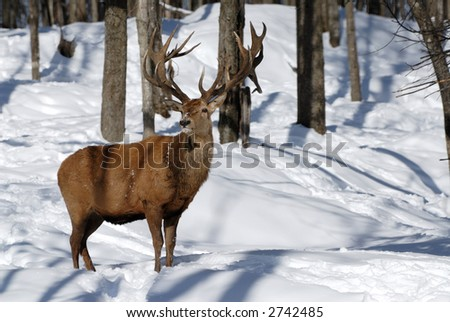 Red Stag in Winter Snow