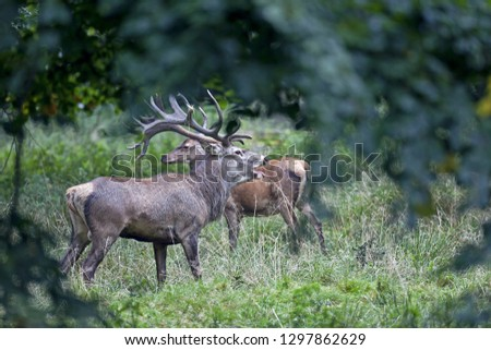 Red stag roaring with female #1297862629