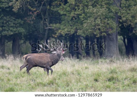 Red stags after a fight, one stag with injury #1297865929