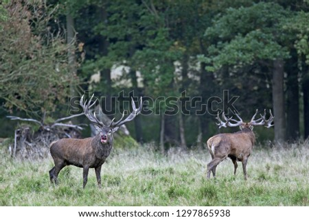 Red stags after a fight, one stag with injury #1297865938