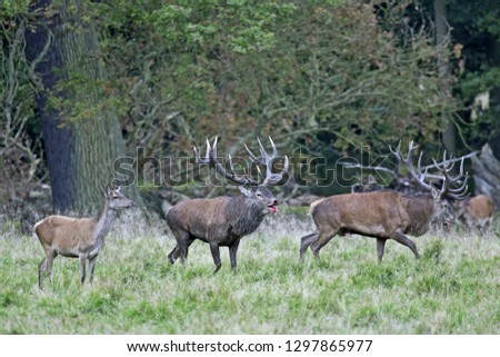 Red stags after a fight, one stag with injury #1297865977