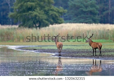 Red stags at riverside #1320632315