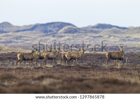 Red stags shed the antlers #1297865878