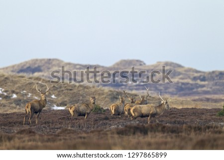 Red stags shed the antlers #1297865899