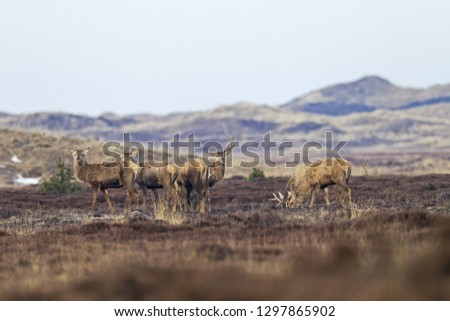 Red stags shed the antlers #1297865902