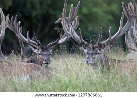 Red stags with velvet-covered antlers #1297866061